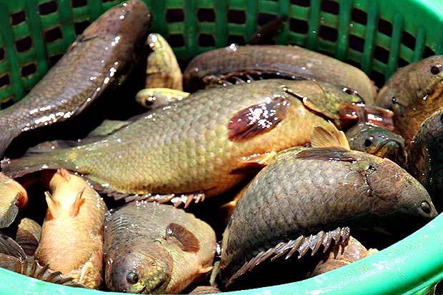 การเลี้ยงปลาหมอ
