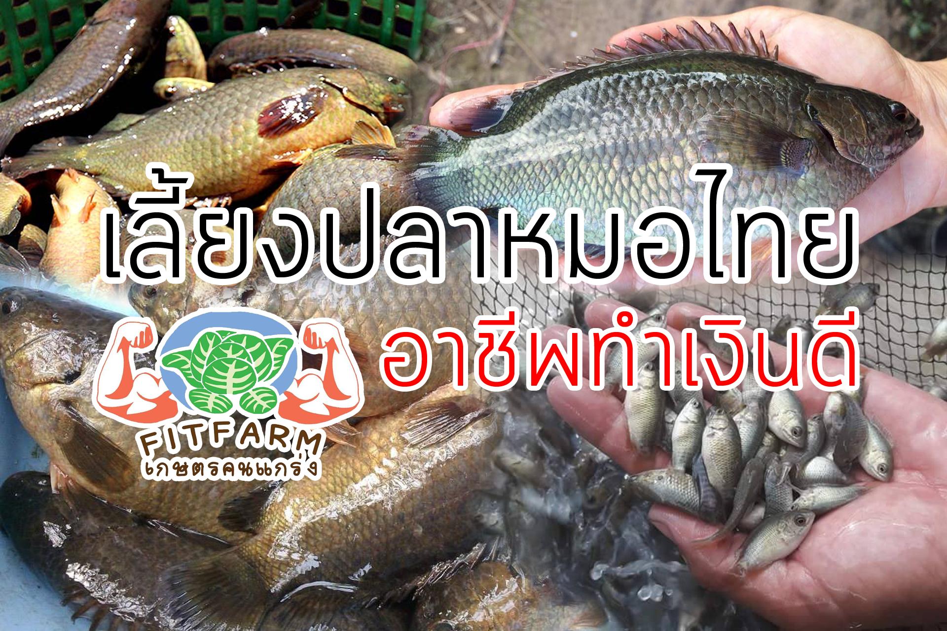 เลี้ยงปลาหมอไทยอาชีพทำเงินดี